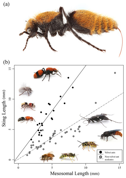Sting length vs. mesosomal length among aculeates.