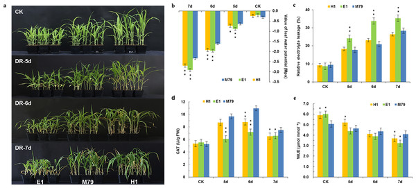 Morphological and physiological analysis of M79, E1 and H1 before and after drought treatment.