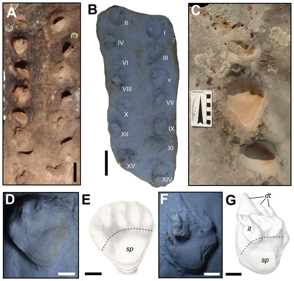 """Dicynodontipus isp. from the """"Pirambóia Formation,"""" Brazil."""