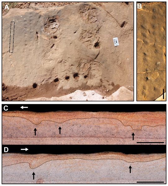 "C. bucklandi (SLIA-2 and SLIA-5) and indeterminate tracks (SLIA-3) from the ""Pirambóia Formation,"" Brazil."
