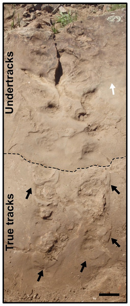 "Indeterminate tracks (SLIA-4) from the ""Pirambóia Formation,"" Brazil."