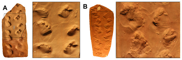 Chelichnus duncani trackways from the Coconino Sandstone (A) and the DeChelly Sandstone (B) of the United States.