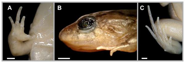 Pseudopaludicola restinga sp. nov., holotype, CFBH 37715.