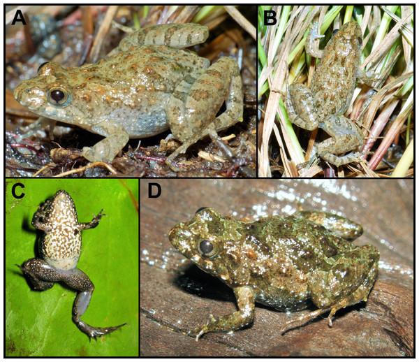 Pseudopaludicola. restinga sp. nov. in life.