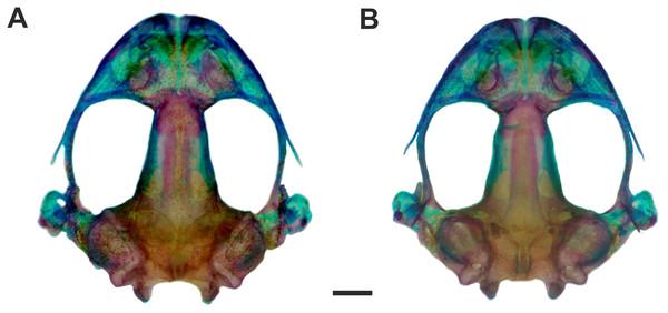 Skull of Pseudopaludicola. restinga sp. nov