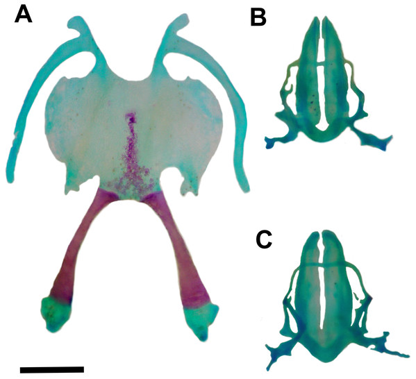 Hyoid and larynx of Pseudopaludicola. restinga sp. nov.