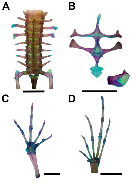 Skeleton of Pseudopaludicola. restinga sp. nov., paratype CFBH 37716, adult male.