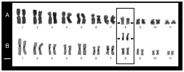 Chromosome features of Pseudopaludicola.restinga sp. nov. (LGE 20332).