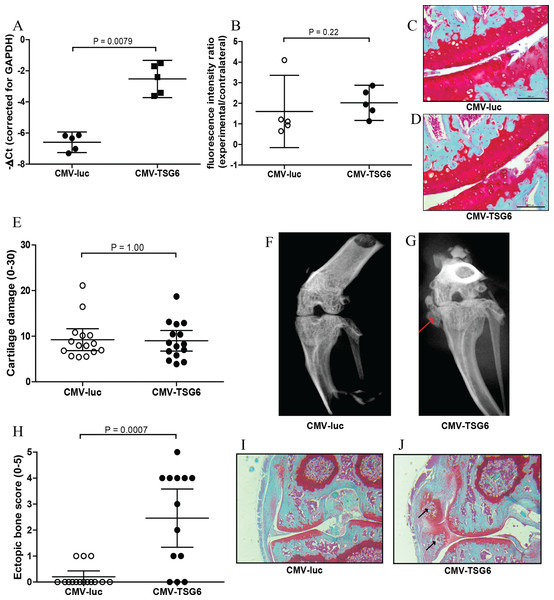 Effects of adenoviral luciferase or TSG6 on collagenase-induced osteoarthritis (CIOA) in n = 15 mice/group.