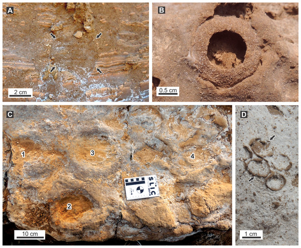 Ichnofossils associated with burrow fills.