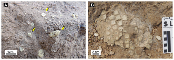 Bone remains inside burrow fills.