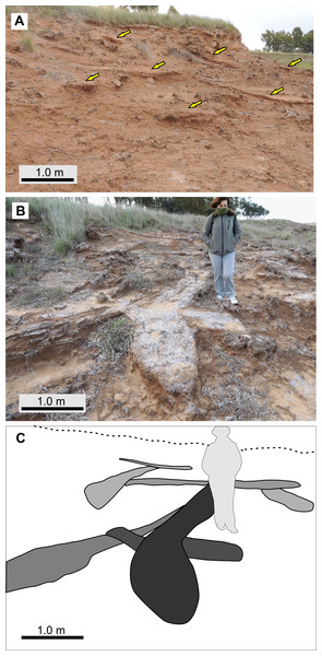Abundance and cross-cutting relationships of burrows, from LLP locality.