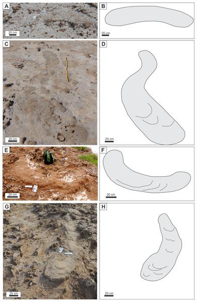 Burrow morphology in plan view.