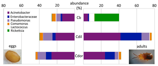 Dominant bacterial 16S rRNA sequences, recovered from eggs and adults of Cephaloleia species.