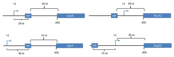 Location of SNPs in non-coding regions.
