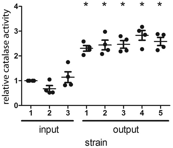 H. pylori strains cultured from gerbils demonstrate increased catalase enzymatic activity compared to the input strain.
