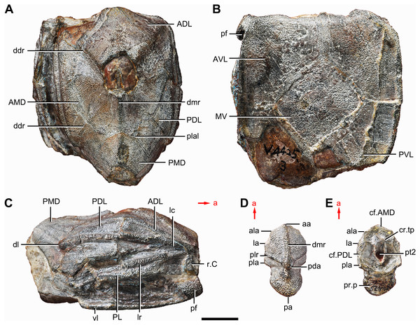 Holotype and paratype of Phymolepis cuifengshanensis.