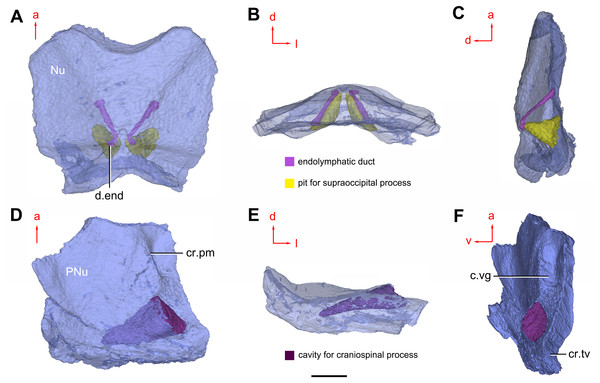 Cavities within the head shield of Phymolepis cuifengshanensis (IVPP V4425.2) based on high-resolution CT.
