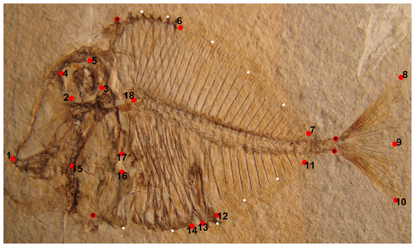 Landmarks represented by red circles, which were used on Pycnodus (MCSNV T.998) for the geometric morphometric analysis.