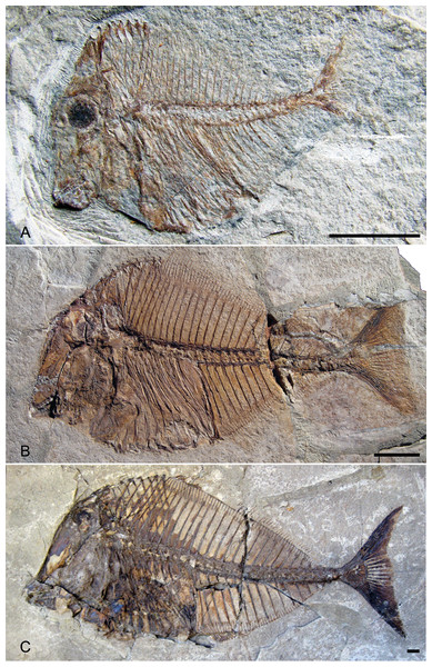 Ontogenetic series of Pycnodus.