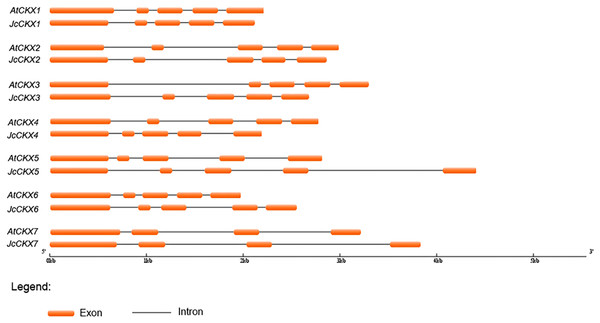 Genomic organization of CKX family members in Jatropha and Arabidopsis.