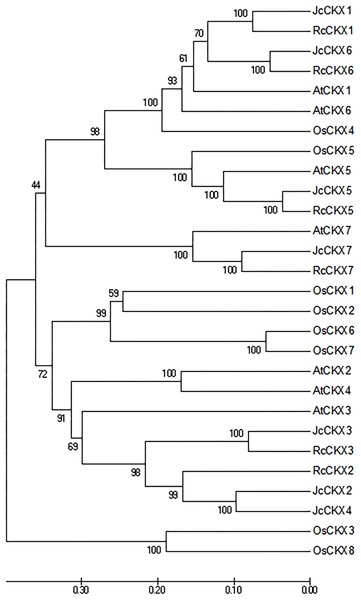 Neighbor-joining phylogenetic tree for CKX family members in various species.