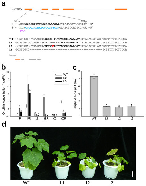 Generation and phenotypic variation of Jccyp735a mutants of Jatropha obtained by the CRISPR-Cas9 system.