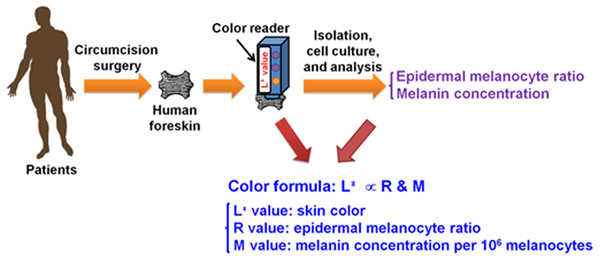 The illustration of the process for measurement of skin color and formulation of the relation among L∗ value, epidermal melanocyte ratio and melanin concentration.