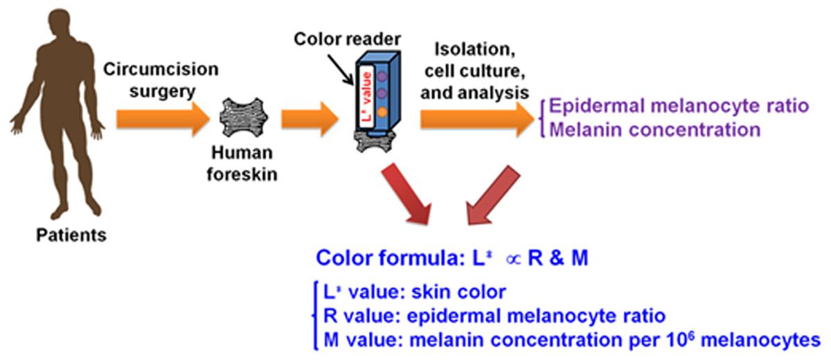 High Correlation Between Skin Color Based On Cielab Color Space