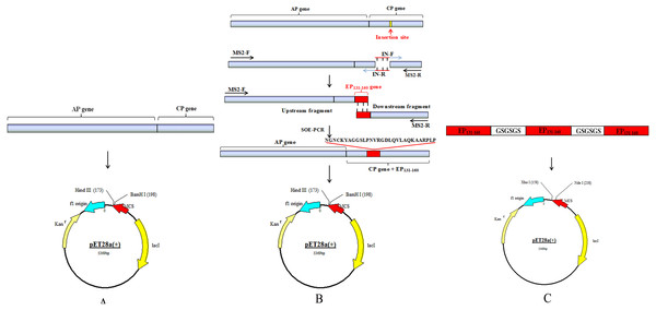 Schematic drawing of constructing process for recombinant plasmids.