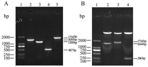 Amplification of target gene and identification of recombinant plasmids.