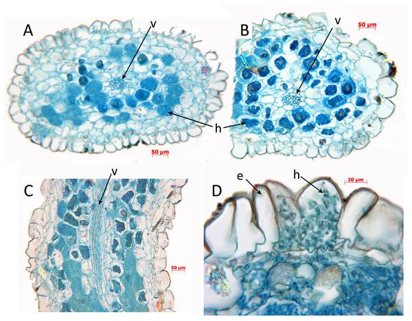 Oxygyne duncanii, root anatomy.