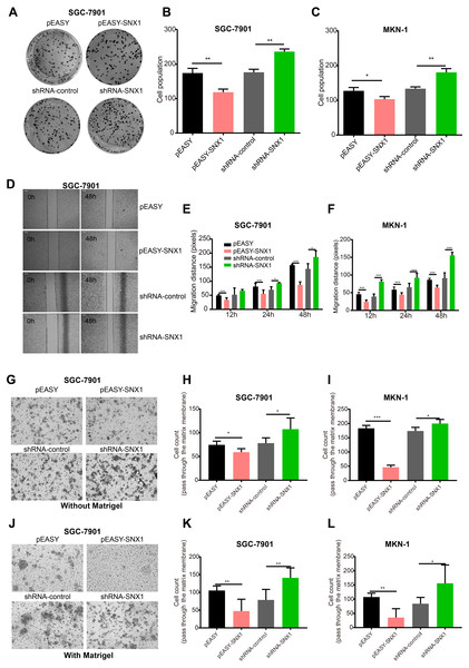SNX1 inhibits the colony formation, the migration and invasion of GC cell in vitro.