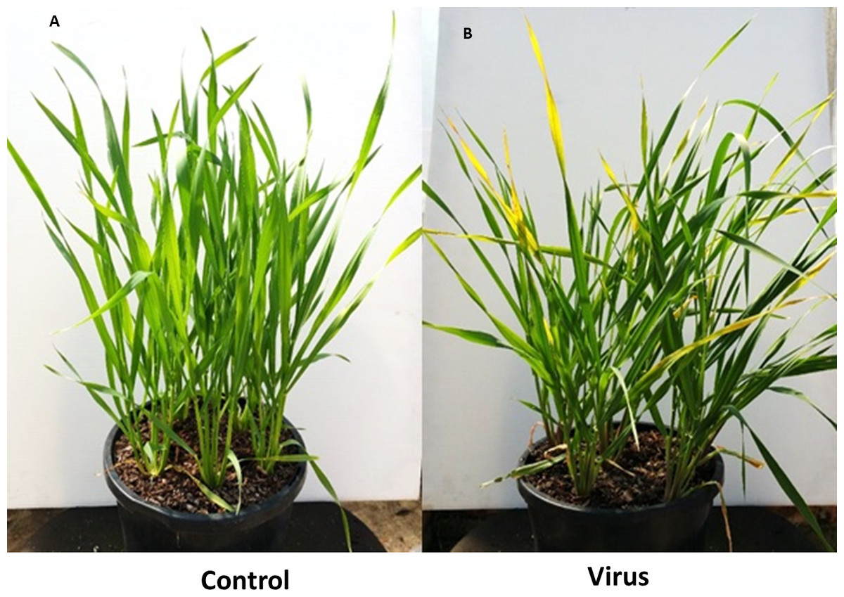 Agronomical Biochemical And Histological Response Of Resistant Tas Mumer Gaul 3 Bydv Pav Inoculated Control Plants Susceptible Barley Cultivar Flagship At Wai