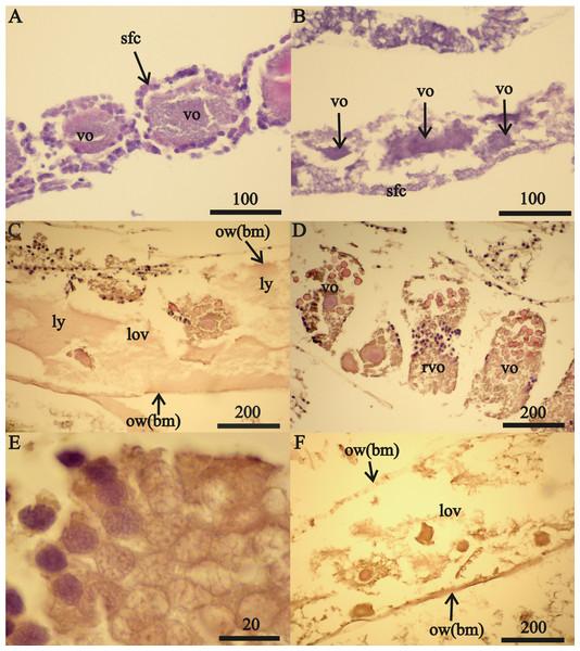 Stage FII A. eschrichtii ovaries.