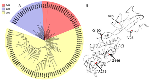 Phylogenetic tree of AlpA proteins from Colombian isolates of Helicobacter pylori.
