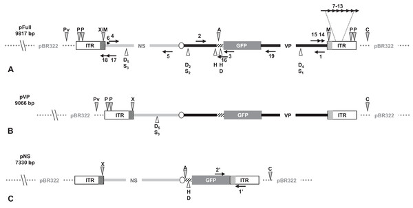 Schematic organization of JcDV-based plasmids used to generate linear sequences for transfection experiments.