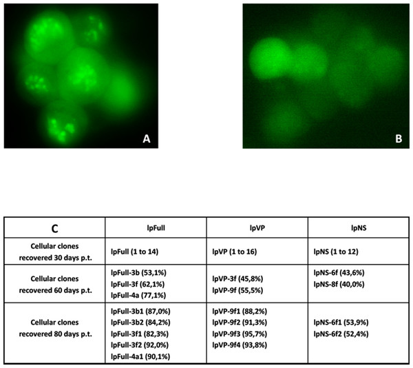 Cellular clones showing persistent expression of GFP after transfection with JcDV-based linear molecules.