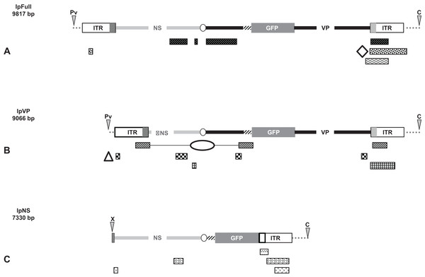 Schematic representation of viral and genomic DNA sequences identified in our experiments.