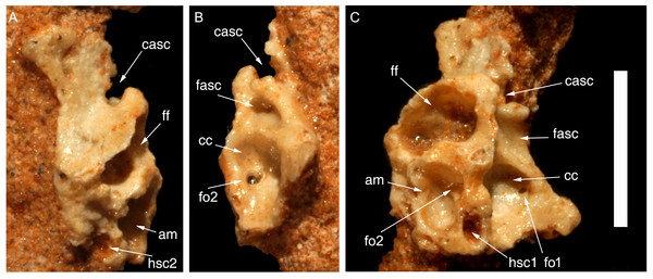 Partial right medial wall of braincase of Hulsanpes perlei (ZPAL MgD-I/173) in anterior view (A), posterior view (B), and medial view (C).