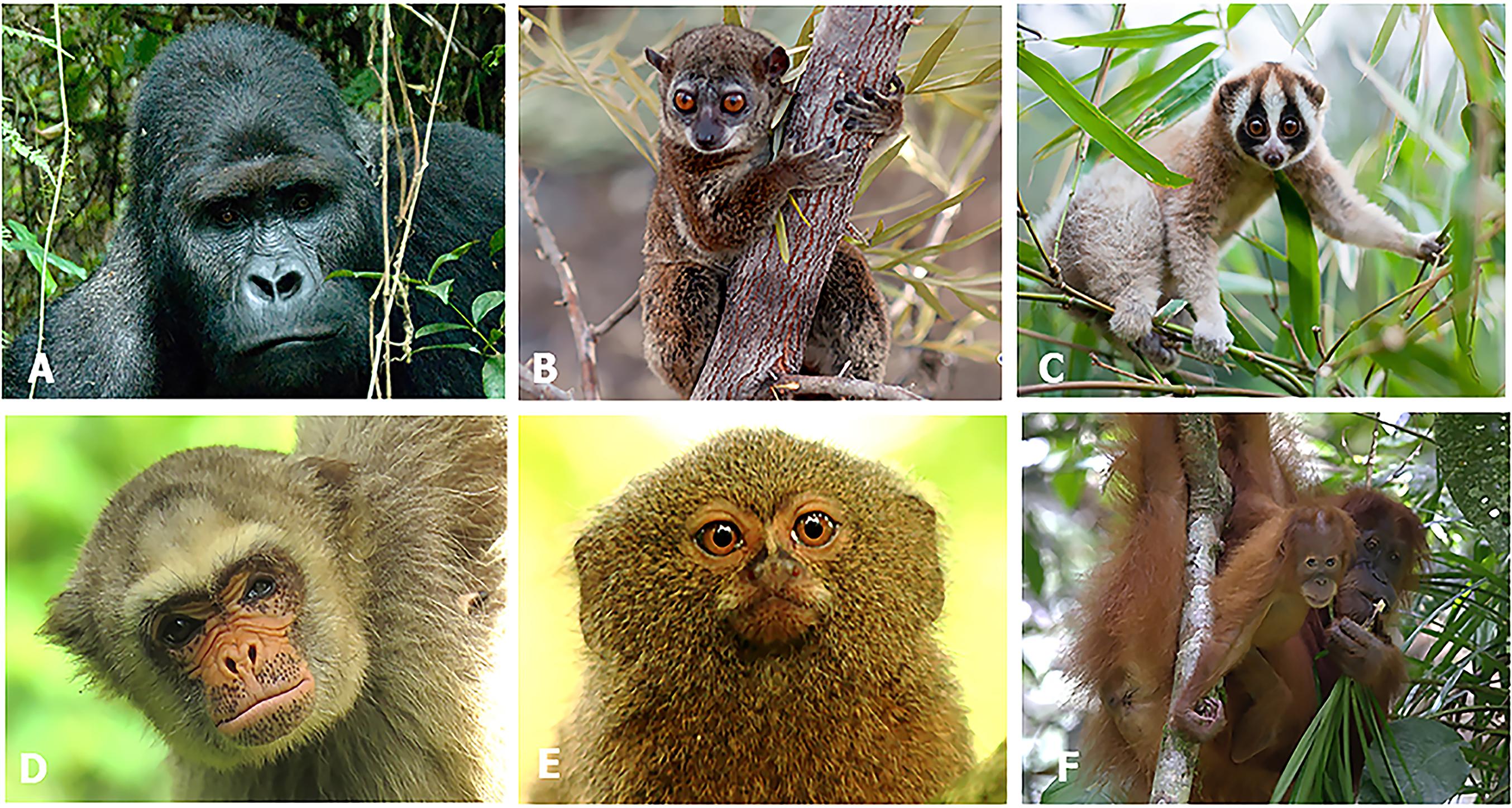 Primates in peril: the significance of Brazil, Madagascar