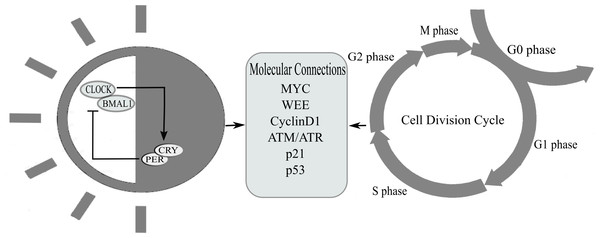 This figure represents proteins that are coupled between cell cycle and circadian clock.