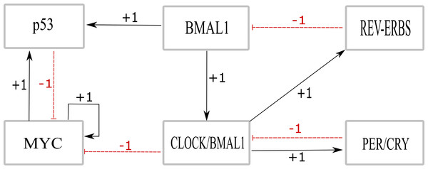 The BRN consisting of six entities involving the core clock proteins and proteins that are involved in tumor growth, i.e., p53 and MYC.