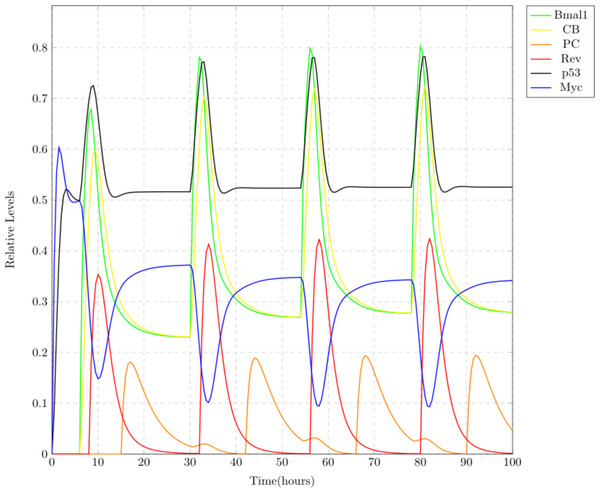 Simulation results depicting the normal oscillatory behavior of circadian clock proteins where each clock protein oscillating in a 24 h periodic manner.