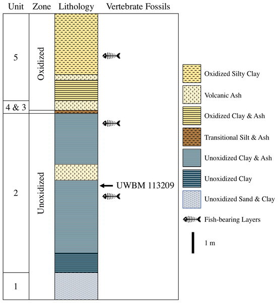 Stratigraphy of the Latah Formation exposed at UWBM C2830.