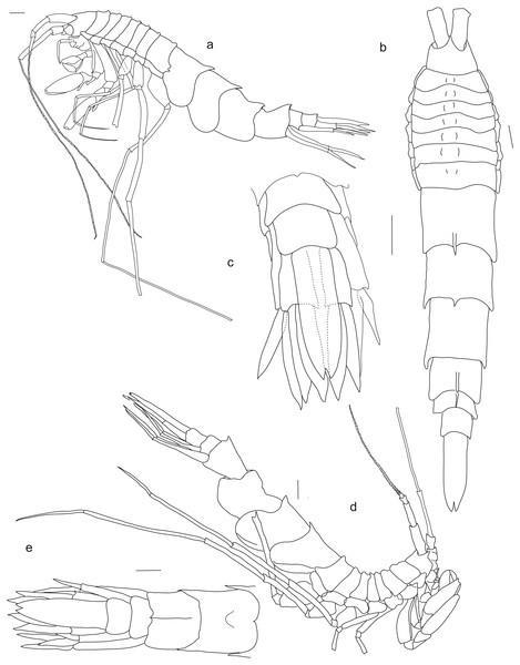 Rhachotropis saskia n. sp.