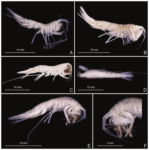 Stacked photographs of Rhachotropis saskia n. sp.