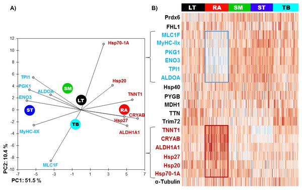 (A) Principal component analysis (PCA) of the most discriminating proteins between the muscles using the RA muscle as a reference and (B) unsupervised hierarchical clustering heatmap highlighting the proteins, which are low (blue) and high (red) abundant.