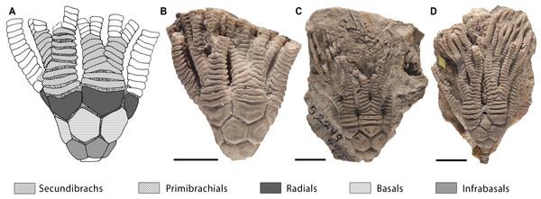 Intraspecific variation in primibrachials of Cupulocrinus jewetti.