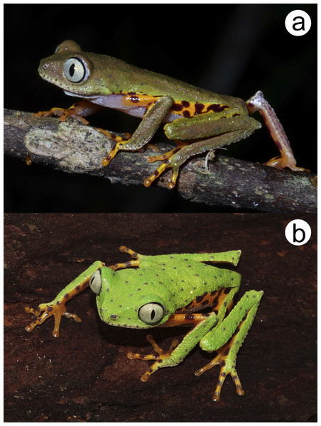 Phasmahyla lisbella sp. nov. in life from the type locality (ZUFMS-AMP 8803). (A) Nocturnal and (B) diurnal coloration.